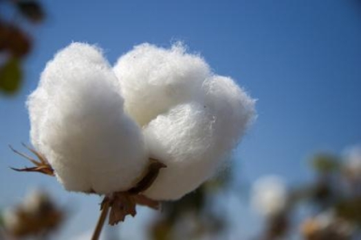 Egyptian-cotton-buds