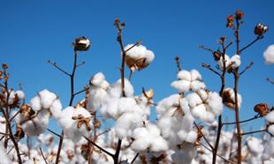 Zimbabwe cotton