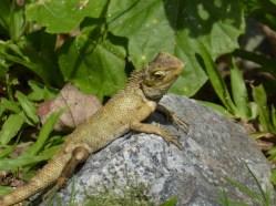 Sungei Buloh Part 2 Gecko sunbathing