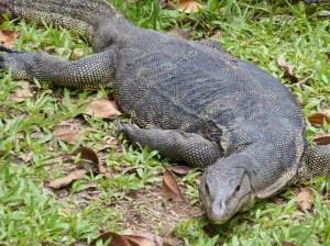 Sungei Buloh Part 2 Monitor Lizard