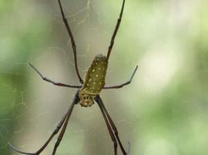 Sungei Buloh Part 2 Orb web spider closeup