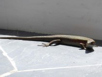 Sungei Buloh Part 2 Skink sunbathing