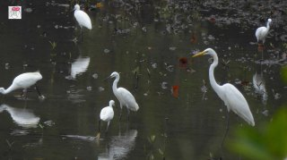 Little Egret and Great Egret
