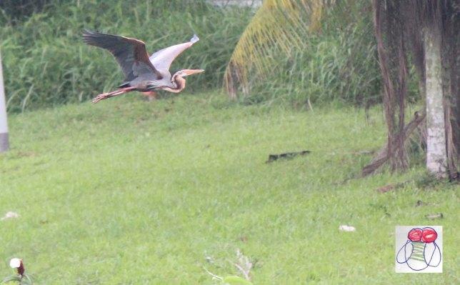purple heron in flight