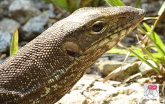 clouded monitor lizard closeup