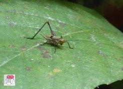 dwarf cricket